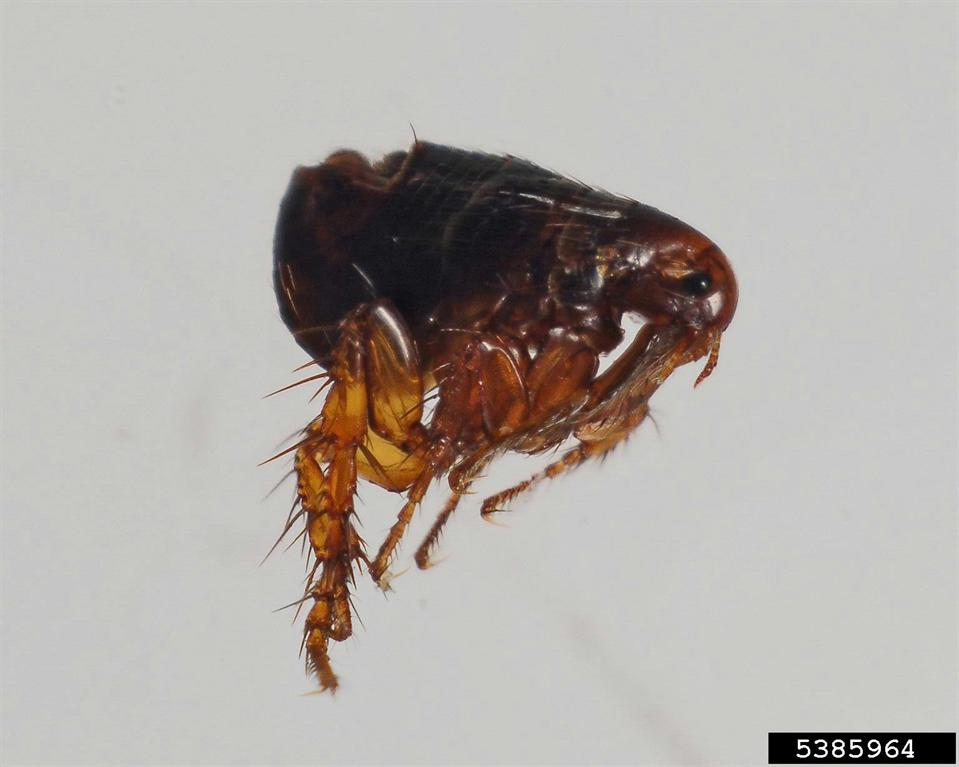 Types Of Fleas And Ticks What Do Fleas And Ticks Look Like