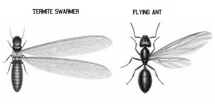 Swarming Ants Vs Swarming Termites Advantage Pest Services Blog